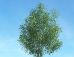 درخت سرسبز