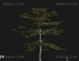 درخت Pinus tabuliformis