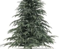 درخت کاج زمستانی