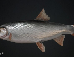 ماهی Common Nase