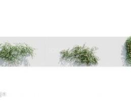 درختچه مو