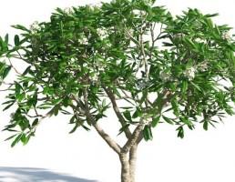 درخت Plumeria obtusa