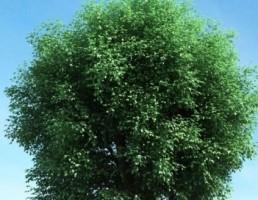 درخت بهاری