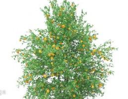 درخت پرتغال