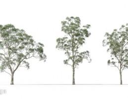 درخت Eucalyptus Saligna