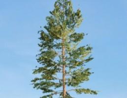 درخت Pinus_Strobus