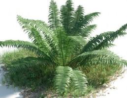بوته Nephrolepis cordifolia