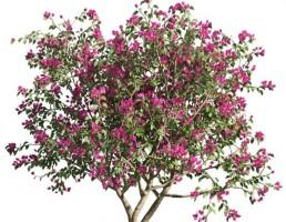 درخت Bougnevilla