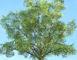 درخت Robur