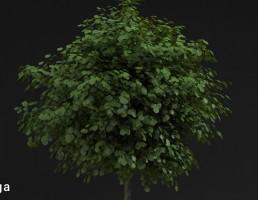 درخت خیابانی