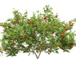 درخت میوه دار