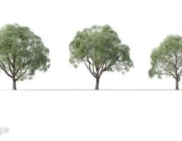 درخت Camphora