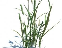 گیاه Phleum pratense L