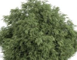 درخت سوزنی برگ
