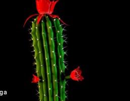 گلدان + کاکتوس