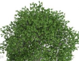 درخت افرای سیاه