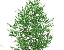درخت توسکا