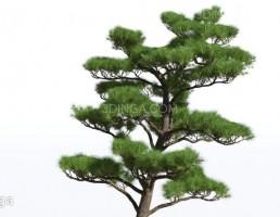 درختان سوزنی برگ
