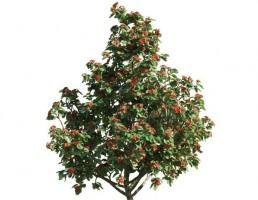 درخت Cordia sebestena