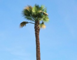 درخت Washingtonia_filifera