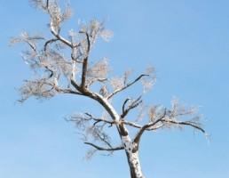 درخت Hawthorn