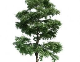 درخت Bucida buceras
