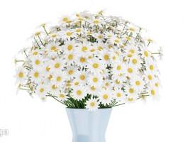 دسته گل بابونه