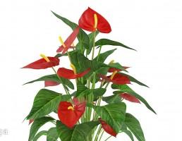 گلدان  + گل آنتریوم