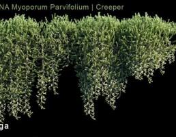 گیاهان پیچک آویز