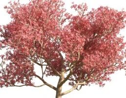 درخت Chorisia speciosa
