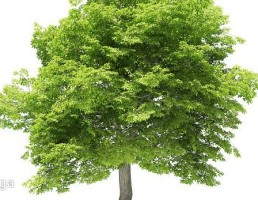 درخت راش آمریکایی