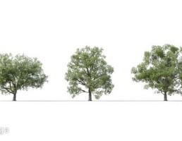 درخت quercus robur