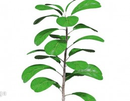 گلدان + گیاه انجیر هندی