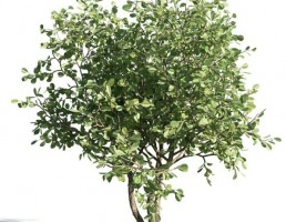 درخت Clusia rosea