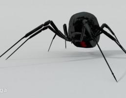 عنکبوت بیوه