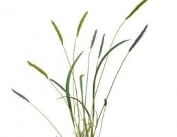 گیاه بهاری