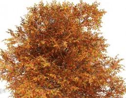 درخت بلوط در پاییز