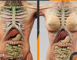 مدل سه بعدی آناتومی بدن زن و مرد