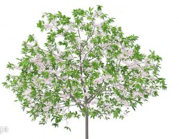 شکوفه درخت گیلاس