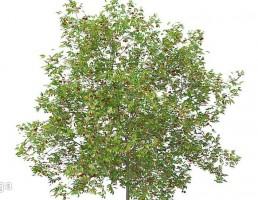 درخت آلبالو