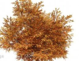 درخت پاییزی بلوط