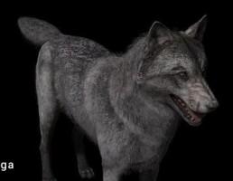 گرگ واقعی