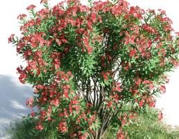 بوته Nerium oleander