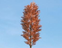 درخت Pinus_Sylvestris