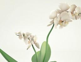 گلدان + بوته گل ارکیده
