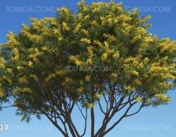 درختان مختص استرالیا و اقیانوسیه