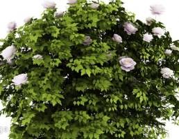 درختچه گل رز