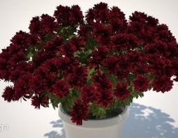 گلدان + گل داوودی