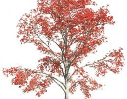 درخت Bombax cebia