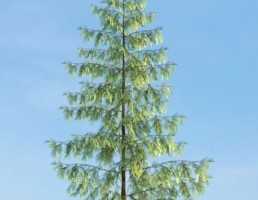 درخت Pinus
